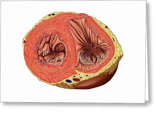 Heart Ventricles Greeting Card by Asklepios Medical Atlas