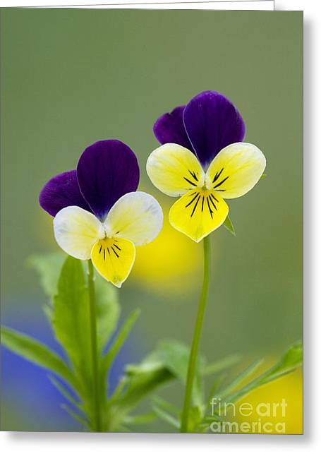 Wild Pansy Greeting Cards - Heartsease Viola Tricolor Greeting Card by Bob Gibbons