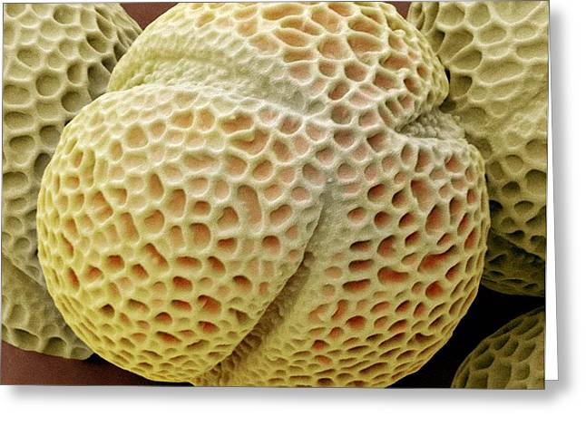 False Hellebore Greeting Cards - Hellebore Pollen, Sem Greeting Card by Steve Gschmeissner