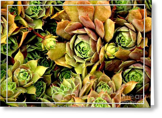 Hens And Chicks Photography Greeting Cards - Hens and Chick Plants Greeting Card by Rose Santuci-Sofranko