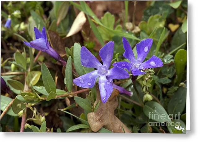 Vinca Flowers Greeting Cards - Herbaceous Periwinkle Vinca Herbacea Greeting Card by Bob Gibbons