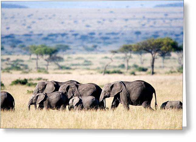 Medium Group Of Animals Greeting Cards - Herd Of African Elephants Loxodonta Greeting Card by Panoramic Images