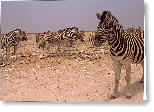 Burchell Greeting Cards - Herd Of Burchells Zebras Equus Quagga Greeting Card by Panoramic Images