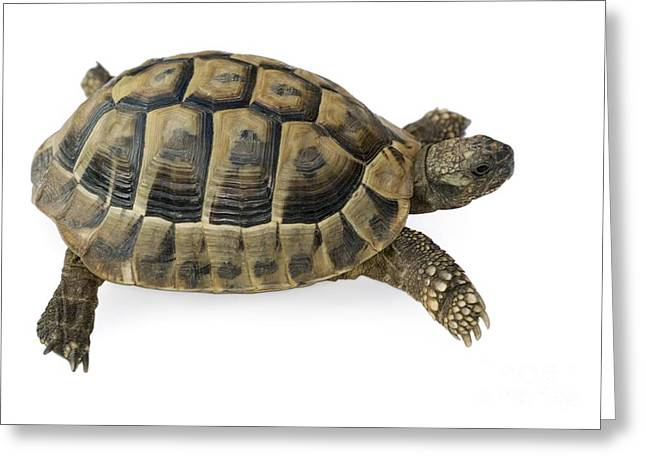 Hermann Greeting Cards - Hermanns Tortoise Greeting Card by Jon Stokes