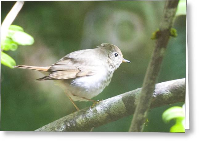 Hermit Thrush Greeting Card by Graham Foulkes