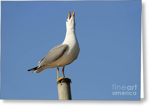 Crying Bird Greeting Cards - Herring Gull Greeting Card by PhotoStock-Israel
