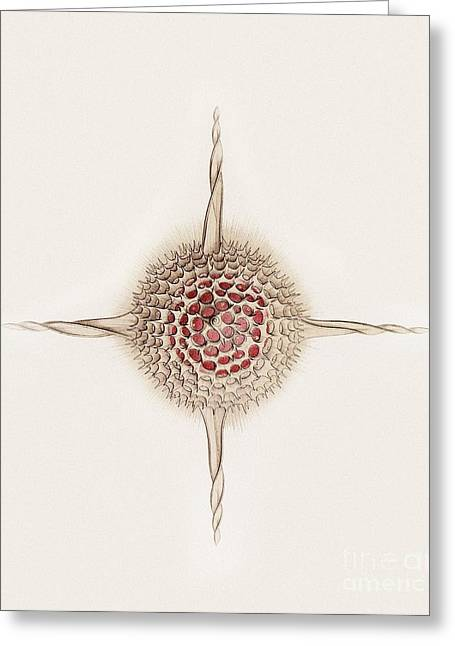 Art Forms Of Nature Greeting Cards - Hexastylus Radiolarian, Artwork Greeting Card by Mehau Kulyk
