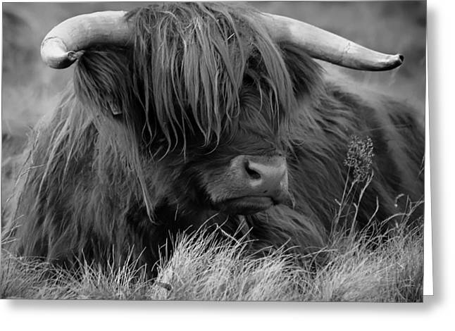 Steer Greeting Cards - Highland Cow Greeting Card by Mountain Dreams