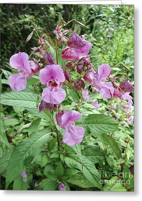 Impatiens Greeting Cards - Himalayan Balsam Impatiens Greeting Card by Cordelia Molloy