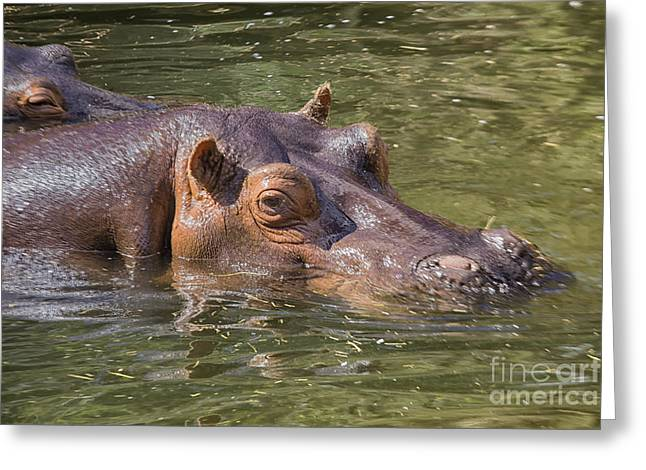 Hippopotamus Photographs Greeting Cards - Hippo in water Greeting Card by Patricia Hofmeester