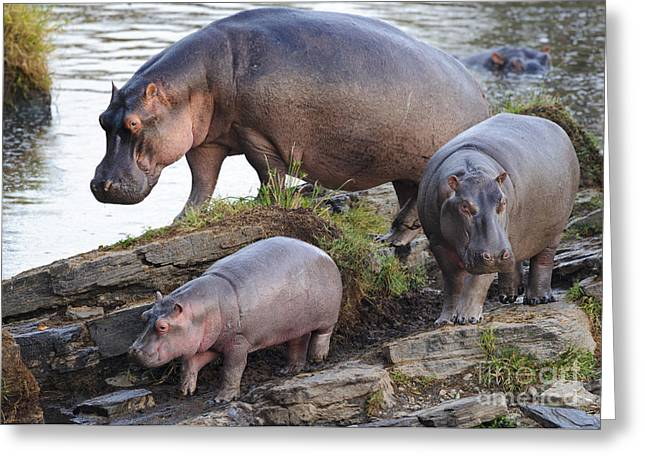 Recently Sold -  - Reserve Greeting Cards - Hippopotamus Family Greeting Card by John Shaw