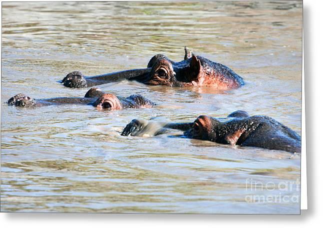 Immersed Greeting Cards - Hippopotamus group in river. Serengeti. Tanzania Greeting Card by Michal Bednarek