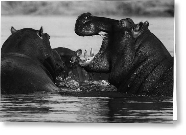 Hippopotamus Photographs Greeting Cards - Hippopotamus in Africa Greeting Card by Mountain Dreams