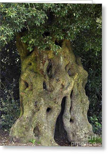 Quercus Greeting Cards - Holm Oak Quercus Ilex Tree Trunk Greeting Card by Colin Varndell