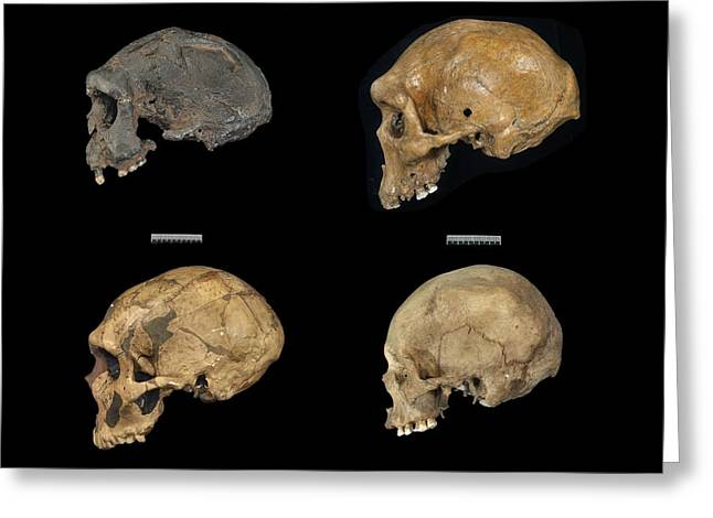 Quartet Photographs Greeting Cards - Homo sp. skulls Greeting Card by Science Photo Library