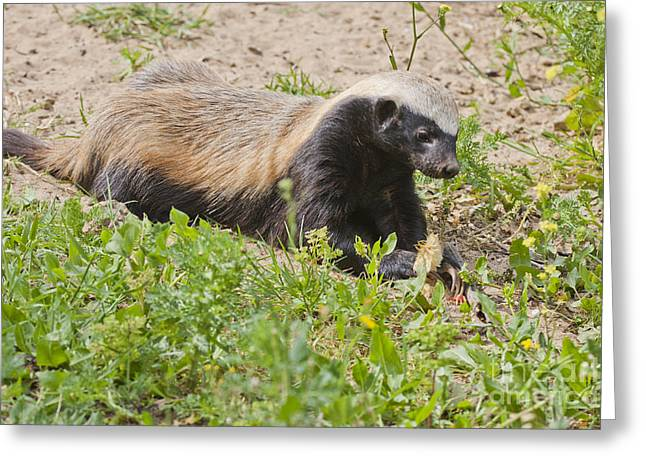 Mideast Greeting Cards - Honey badger Mellivora capensis Greeting Card by Eyal Bartov