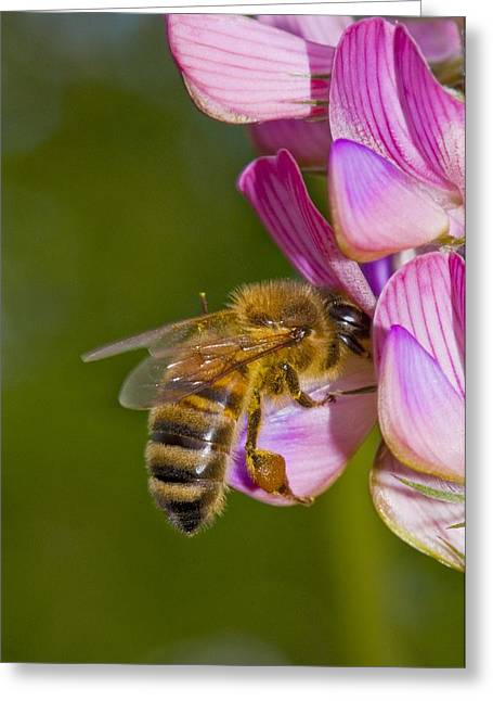 Eating Entomology Greeting Cards - Honey bee feeding on flower Greeting Card by Science Photo Library