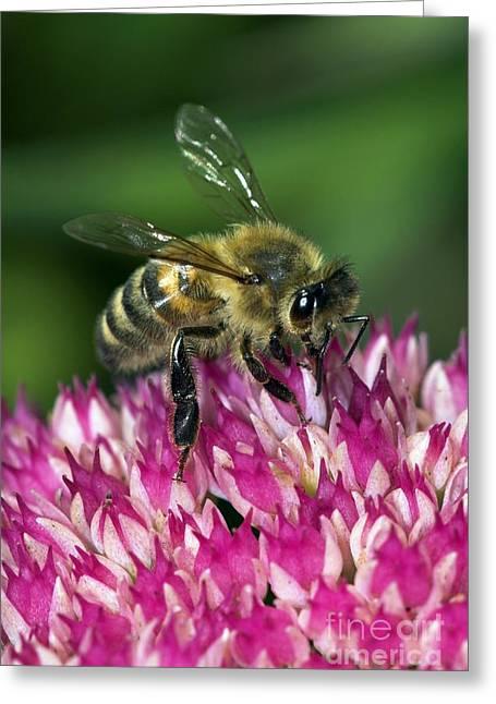 Eating Entomology Greeting Cards - Honey Bee Feeding On Sedum Flowers Greeting Card by Colin Varndell