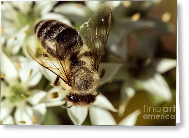Owner Greeting Cards - Honey Bee on Garlic Chive Greeting Card by Iris Richardson
