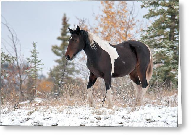 Equus Ferus Greeting Cards - Horse In Snow, Yukon, Canada Greeting Card by Mark Newman