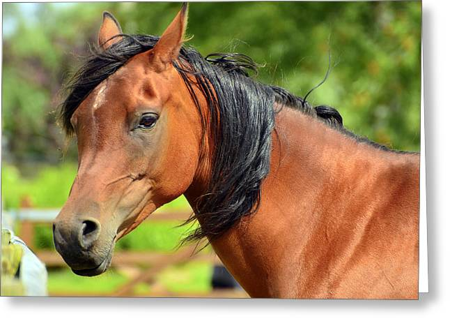 Promoters Greeting Cards - Horse posing proudly. Greeting Card by Toppart Sweden