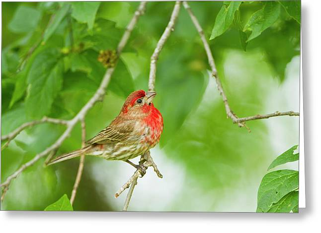 House Finch (carpodacus Mexicanus Greeting Card by Larry Ditto