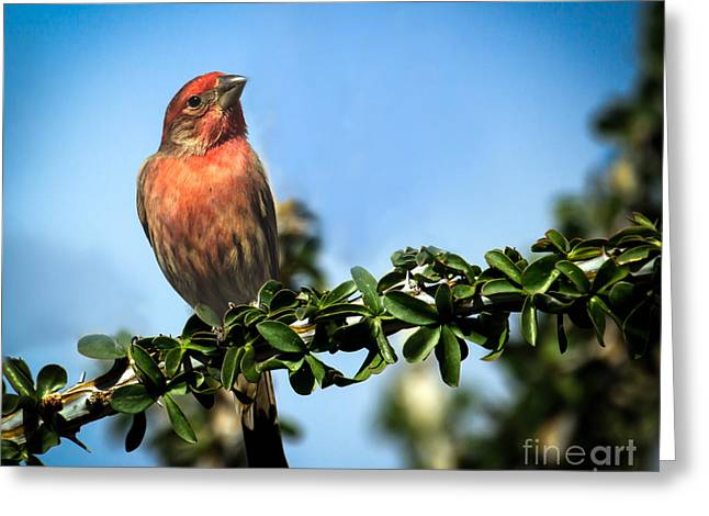 House Finch Greeting Card by Robert Bales
