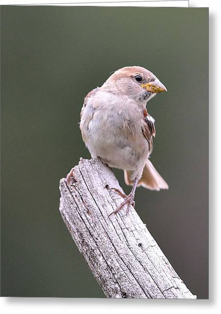 House Finch Greeting Cards - House Finch Greeting Card by Todd Hostetter