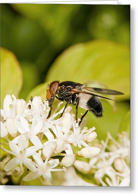 Eating Entomology Greeting Cards - Hoverfly feeding on flowers Greeting Card by Science Photo Library