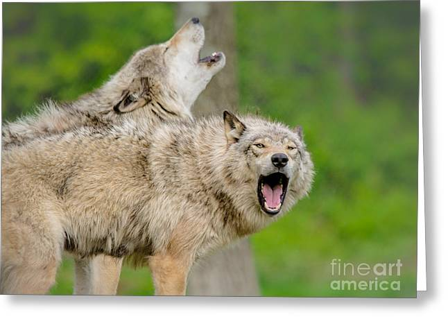 Hairy Wolf Greeting Cards - Howling Wolves Greeting Card by Cheryl Baxter