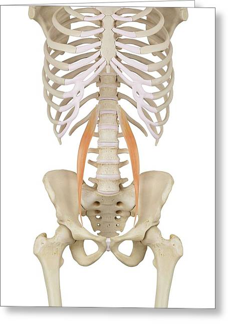 Human Abdominal Muscles Greeting Card by Sciepro