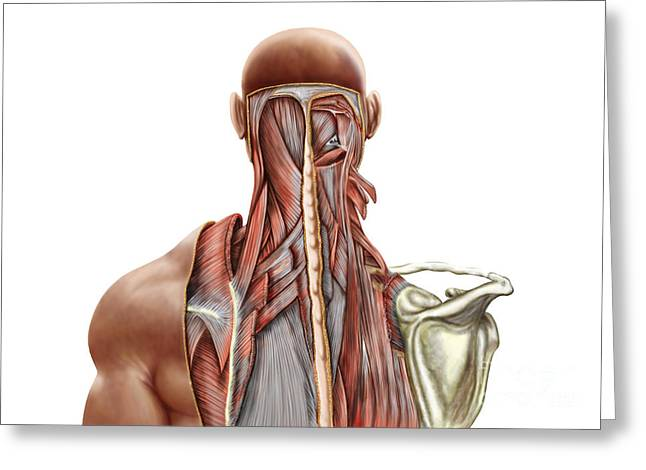 Posterior. Greeting Cards - Human Anatomy Showing Deep Muscles Greeting Card by Stocktrek Images