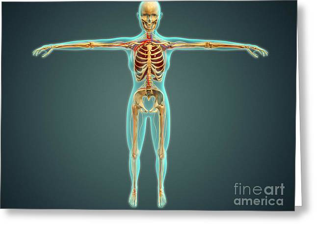 Digital Artery Greeting Cards - Human Body Showing Skeletal System Greeting Card by Stocktrek Images