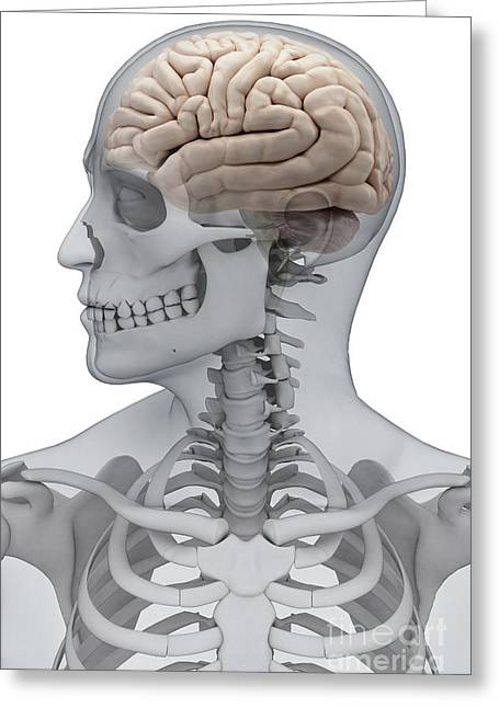 Cerebral Cortex Greeting Cards - Human Brain Male Greeting Card by Science Picture Co