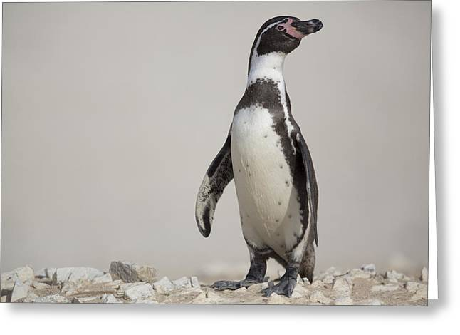 Cyril Greeting Cards - Humboldt Penguin Punta San Juan Peru Greeting Card by Cyril Ruoso