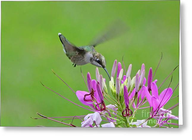 Cleome Flower Greeting Cards - Hummingbird Greeting Card by Jack Schultz