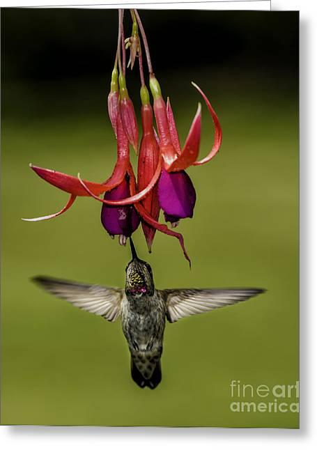 Flying Bird Greeting Cards - Hummingbird Greeting Card by Peter Dang