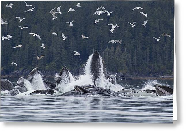 Chatham Greeting Cards - Humpback Whales Bubble Net Feeding For Greeting Card by John Hyde