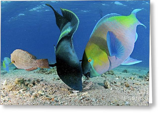 Brightly Colored Fish Greeting Cards - Humphead Wrasse And Rusty Parrotfish Greeting Card by PhotoStock-Israel