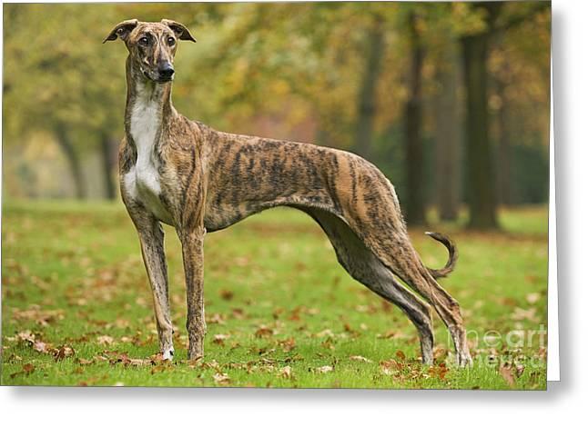 Greyhound Dog Greeting Cards - Hungarian Greyhound Greeting Card by Jean-Michel Labat