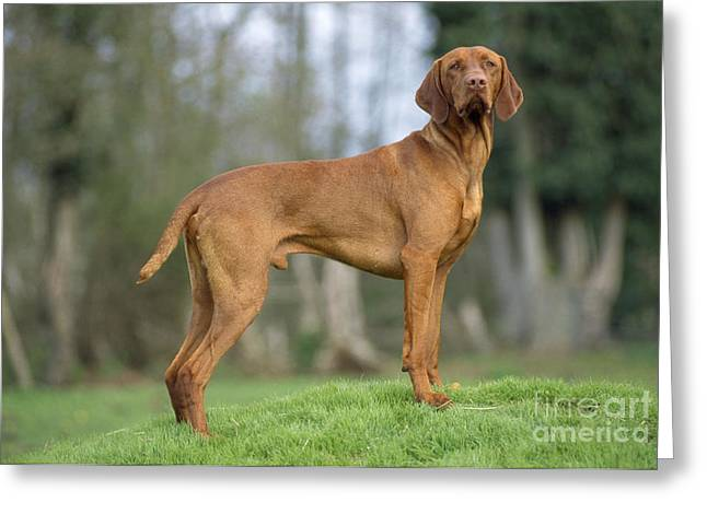 Magyar Vizsla Greeting Cards - Hungarian Vizsla Dog Greeting Card by John Daniels