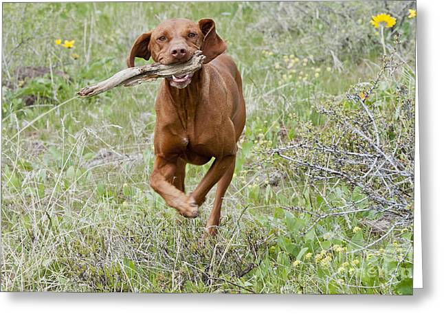 Hungarian Pointer Greeting Cards - Hungarian Vizsla Retrieving A Stick Greeting Card by William H. Mullins
