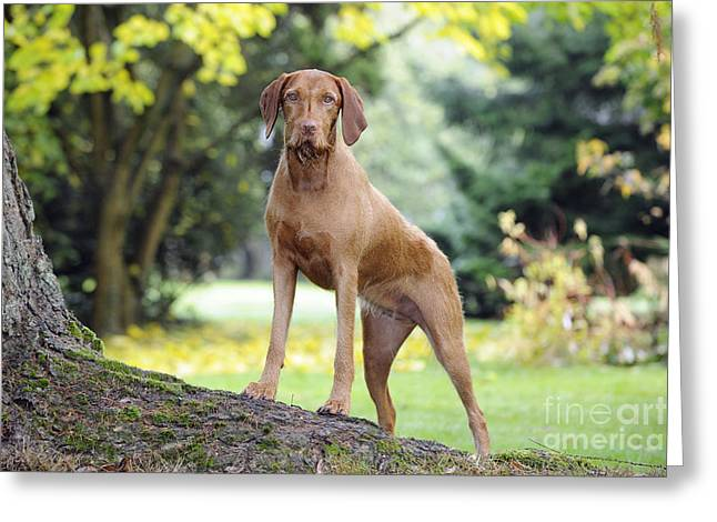 Tree Roots Greeting Cards - Hungarian Wirehaired Vizsla Greeting Card by John Daniels