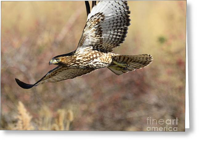 Hunting Bird Greeting Cards - Hunter in Flight Greeting Card by Dennis Hammer
