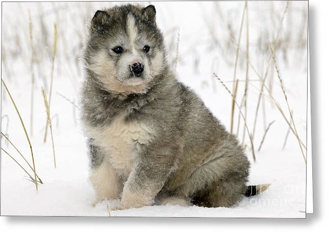 Dog In Snow Greeting Cards - Husky Dog Puppy Greeting Card by M. Watson