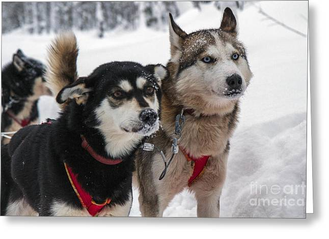 Working Dog Greeting Cards - Husky dogs pull a sledge  Greeting Card by Lilach Weiss