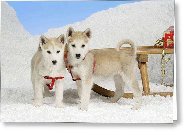 Husky Puppy Greeting Cards - Husky Puppy Dogs Greeting Card by John Daniels