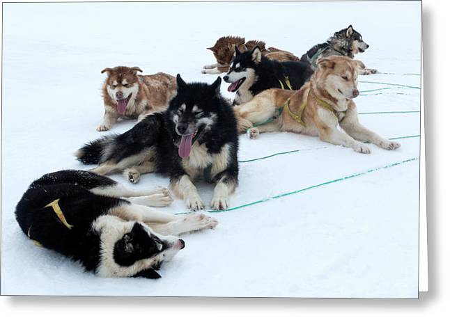 Husky Sled Dogs Greeting Card by Louise Murray