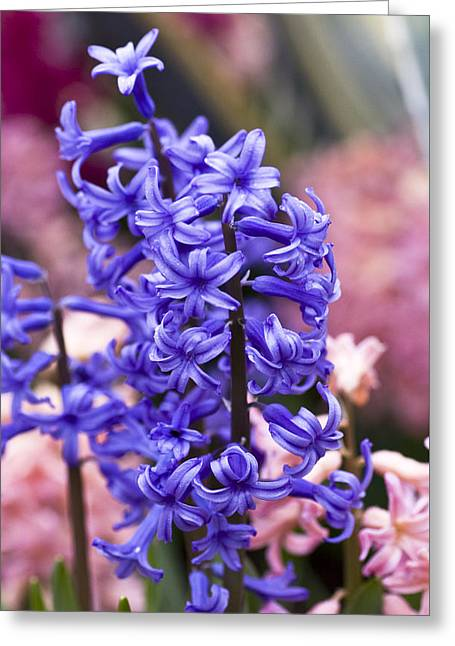 Hyacinth Greeting Cards - Hyacinth Garden Greeting Card by Frank Tschakert