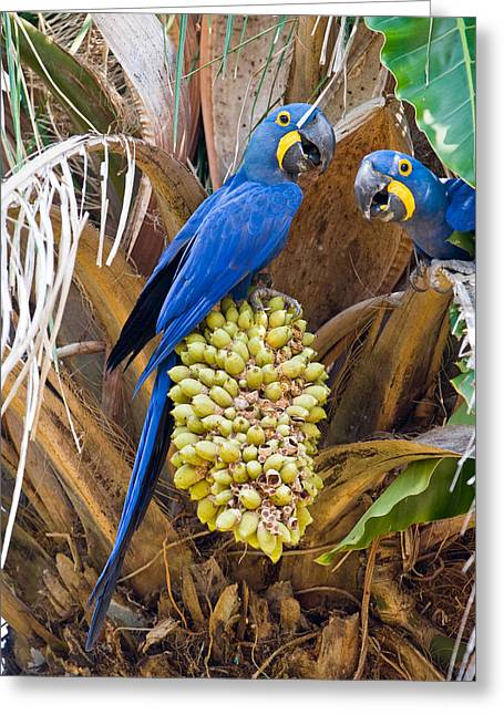 Feeding Birds Greeting Cards - Hyacinth Macaws Anodorhynchus Greeting Card by Panoramic Images